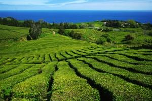 Gorreana Tea Estate:  Courtesy of Thomas Zrna